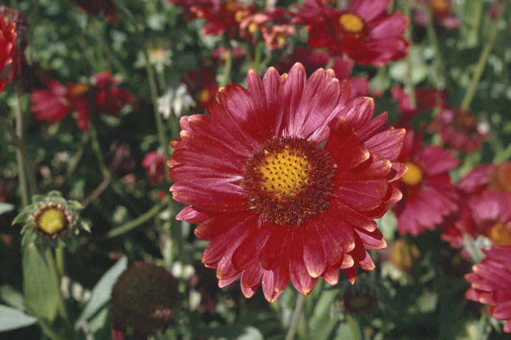blanketflower 'Burgunder'