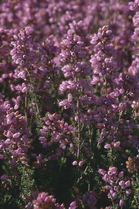 bell heather 'Champs Hill'