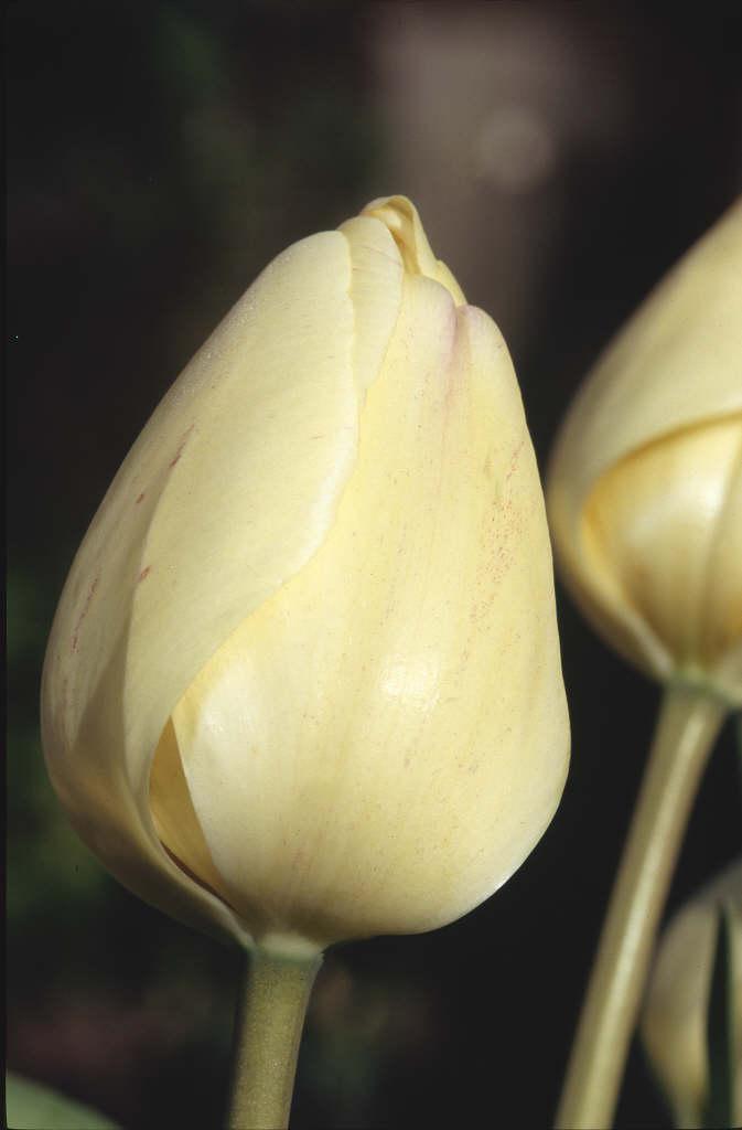 tulip 'Ivory Floradale'