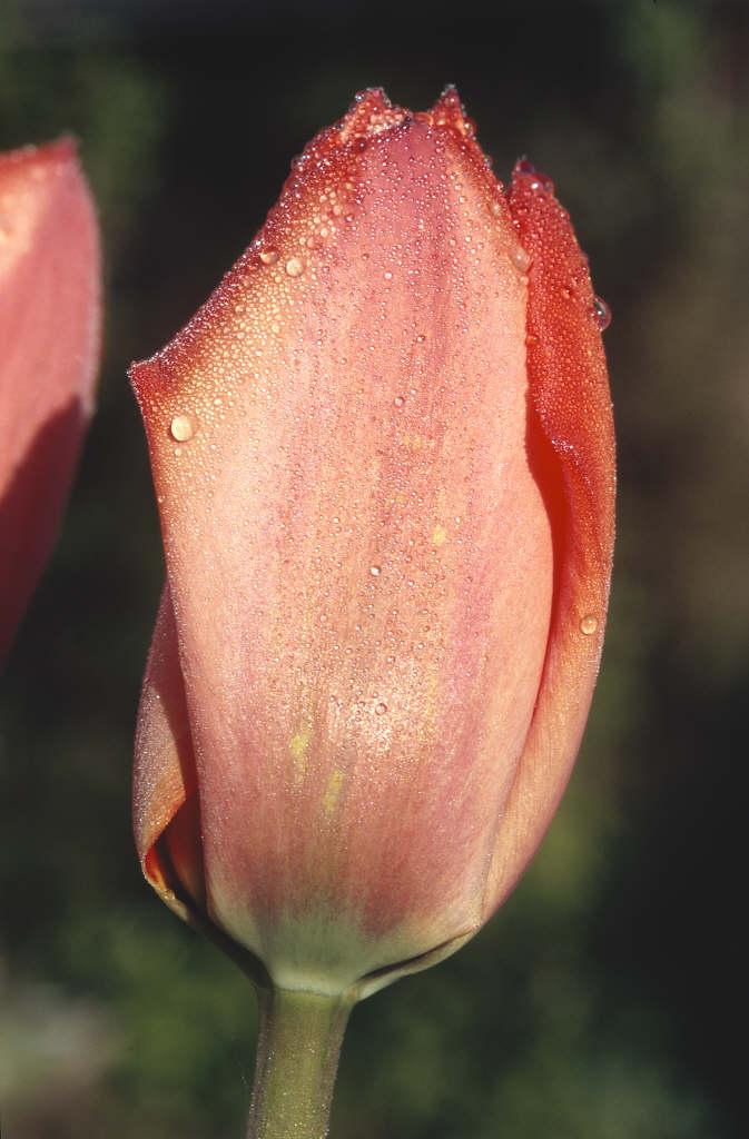 tulip 'Parade'