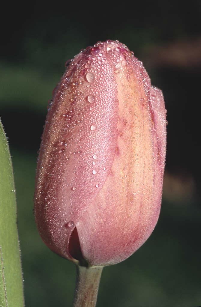 tulip 'Pink Impression'