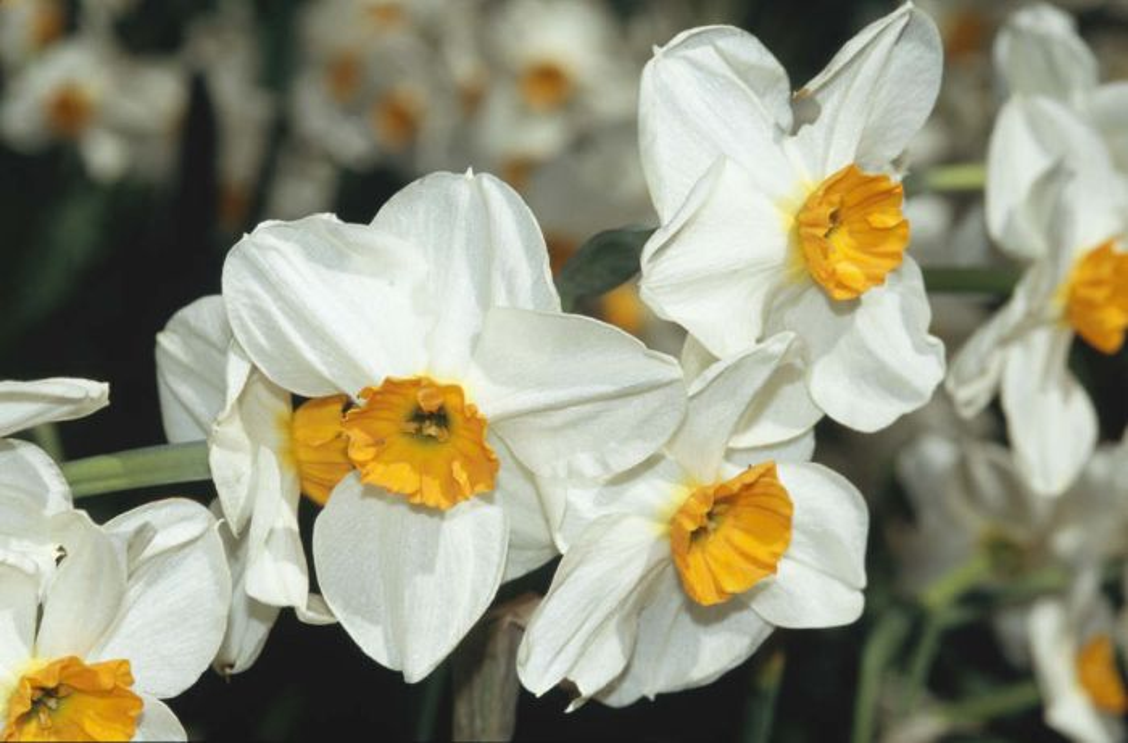 daffodil 'Geranium'