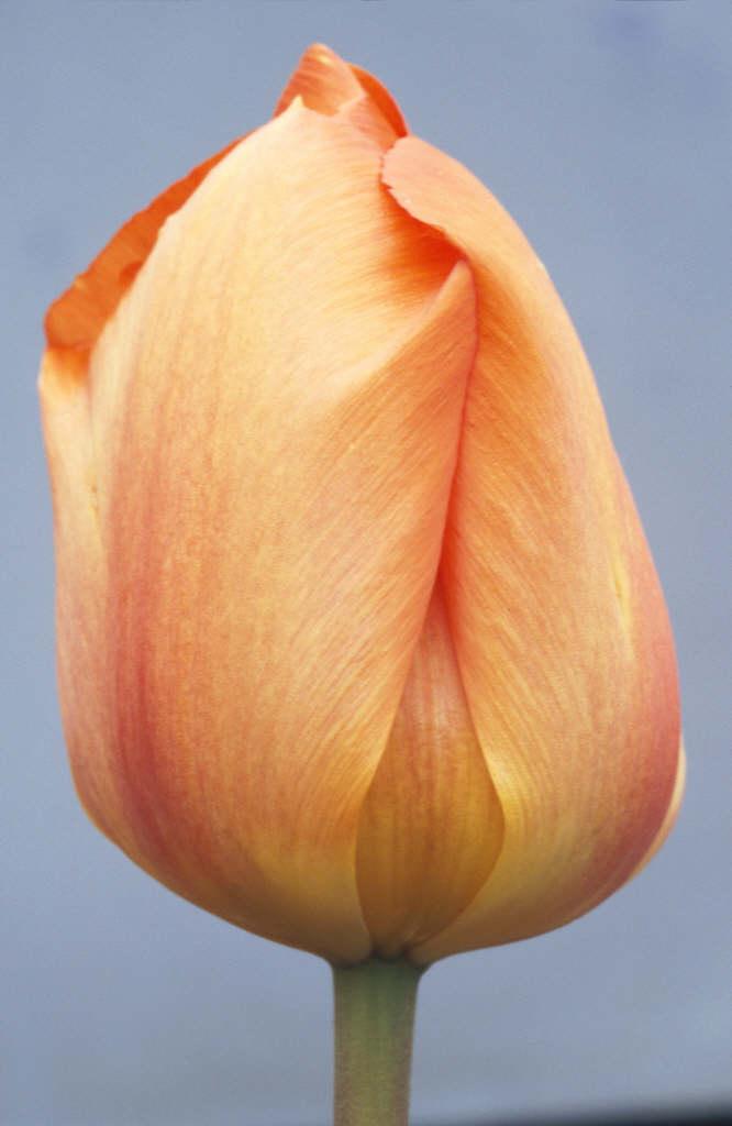 tulip 'Oranjezon'