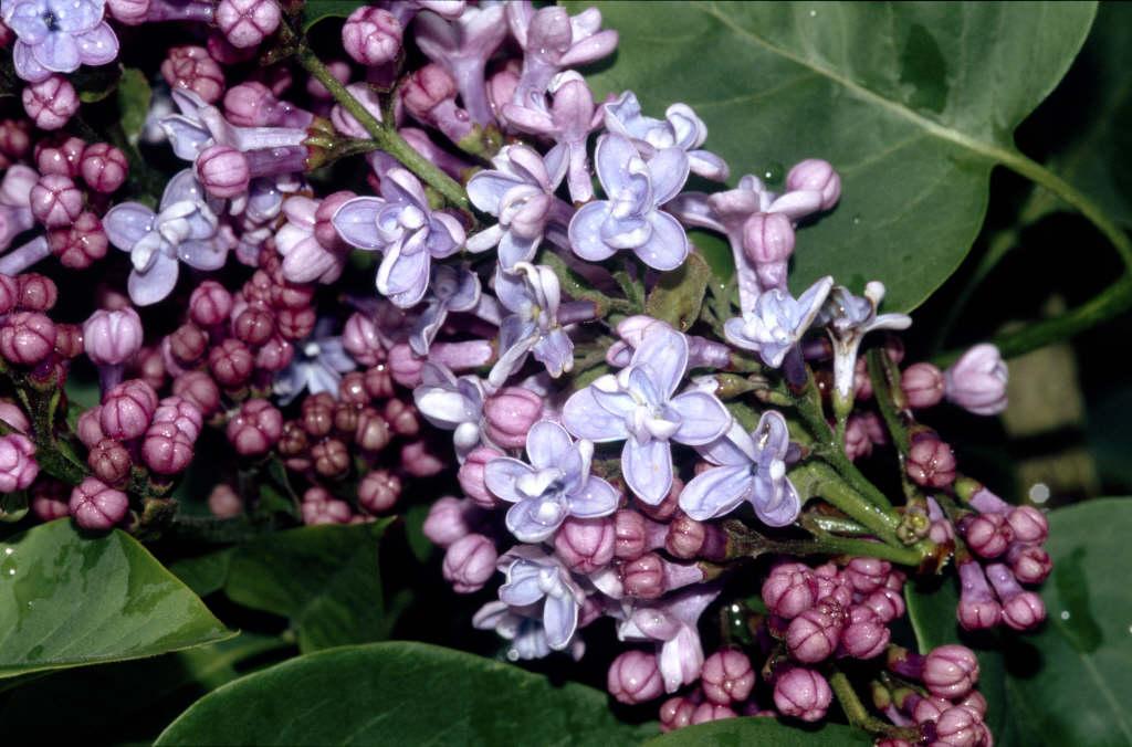 lilac 'Firmament'
