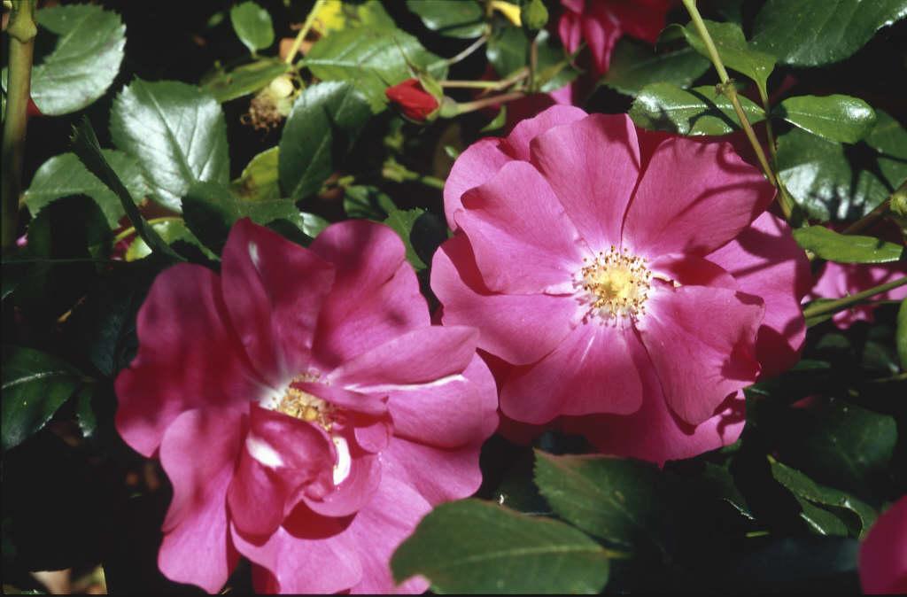 rose [Berkshire]