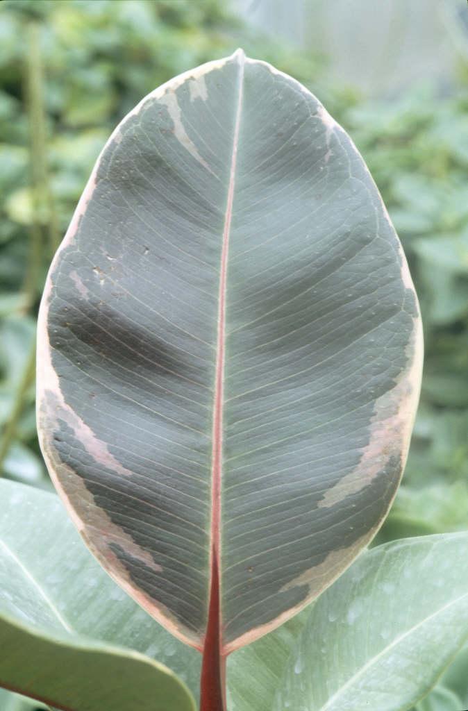 rubber plant 'Schrijveriana'