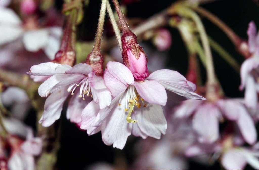 rosebud cherry 'Autumnalis Rosea'