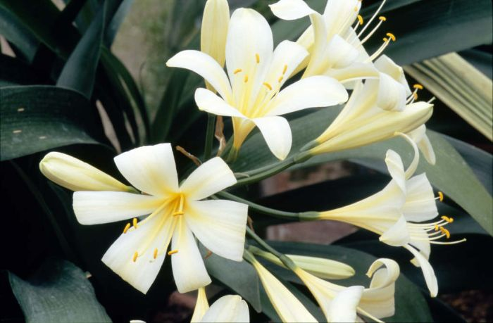 lemon-coloured Natal lily