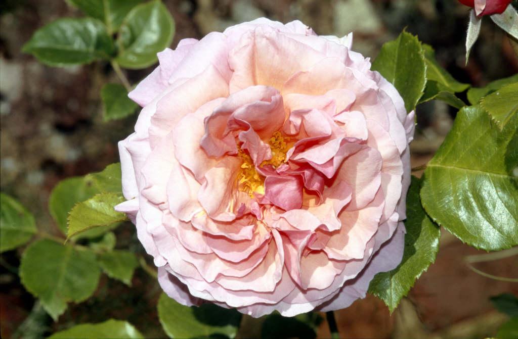rosa 39 aloha 39 clht rose 39 aloha 39 rhs gardening. Black Bedroom Furniture Sets. Home Design Ideas