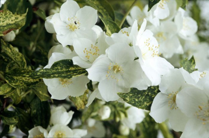 mock orange 'Innocence'