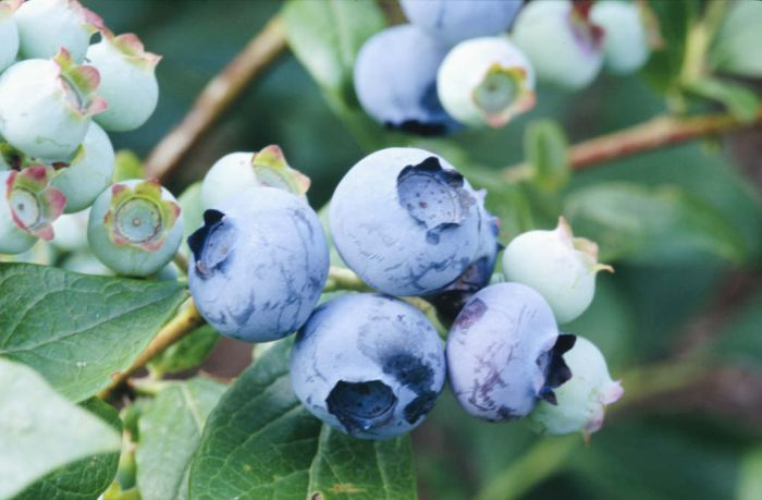 blueberry 'Duke'