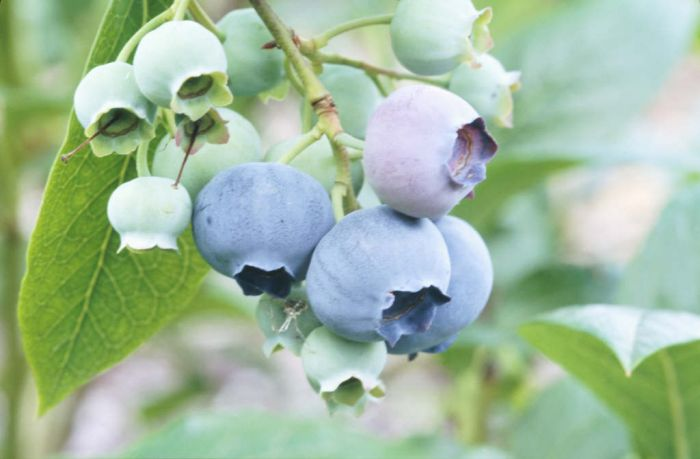 blueberry 'Spartan'