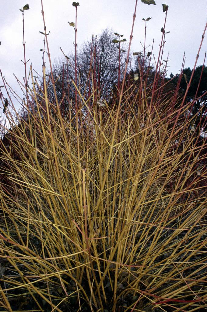 dogwood 'Winter Beauty'