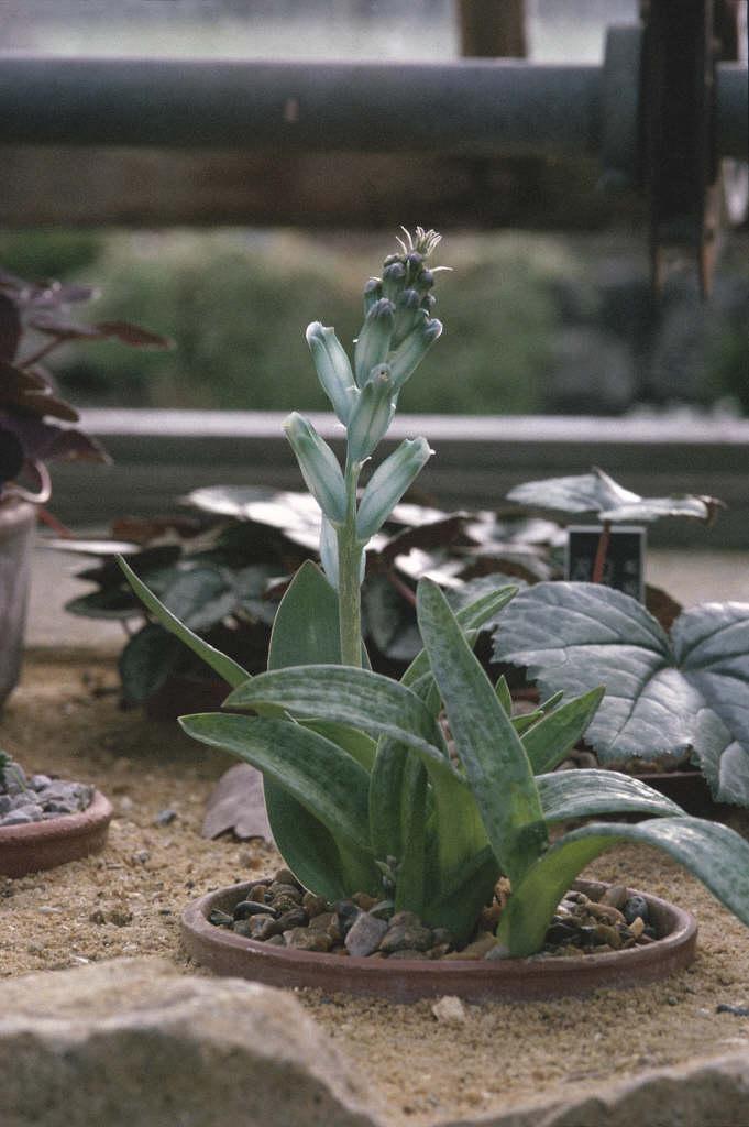 green-flowered Cape cowslip