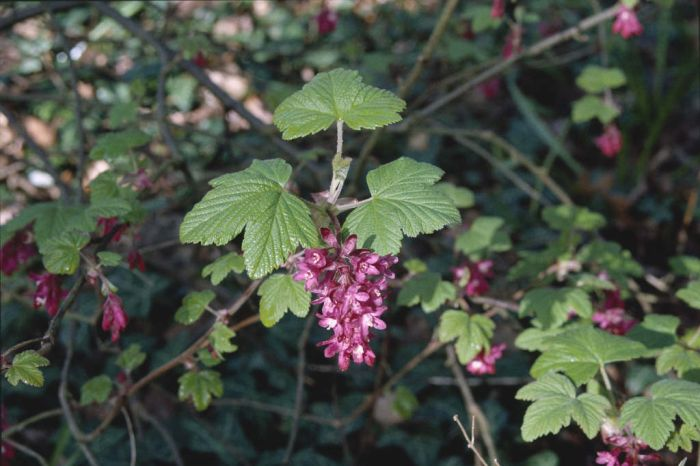 winter currant 'King Edward VII'