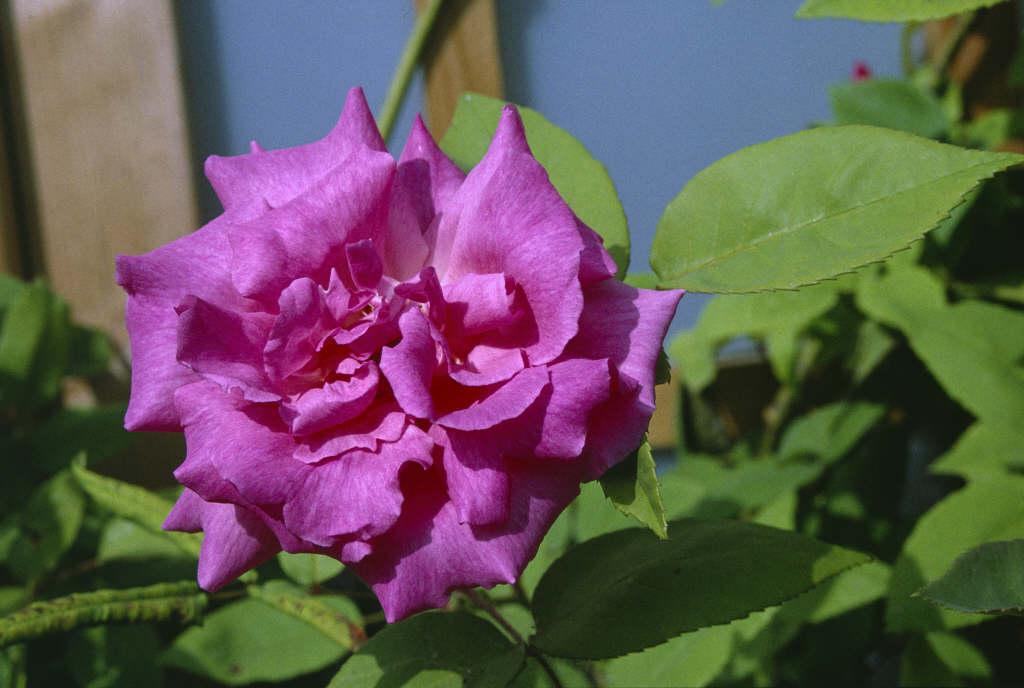 Rosa Z 233 Phirine Drouhin Bb Thornless Rose Rhs Gardening