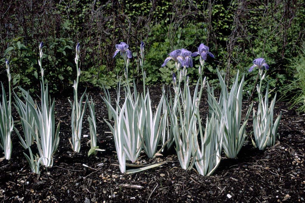 Dalmatian Iris Argentea Variegata