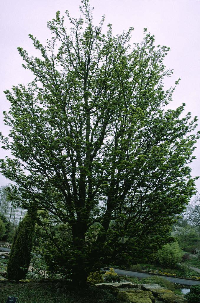 Japanese maple 'Shishi-gashira'