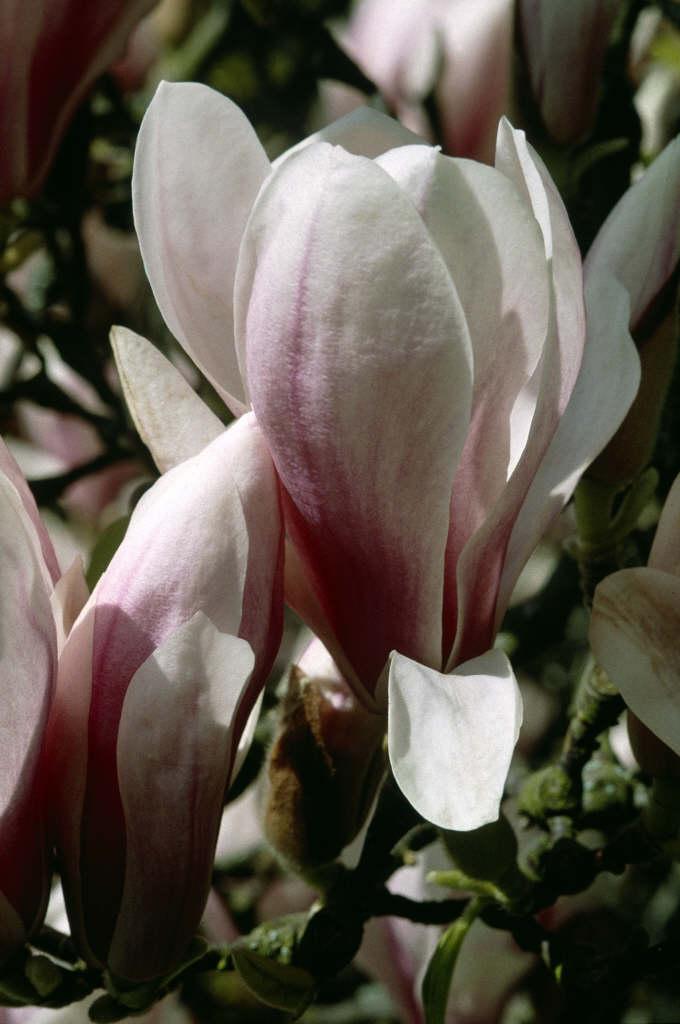Magnolia X Soulangeana Saucer Magnoliarhs Gardening