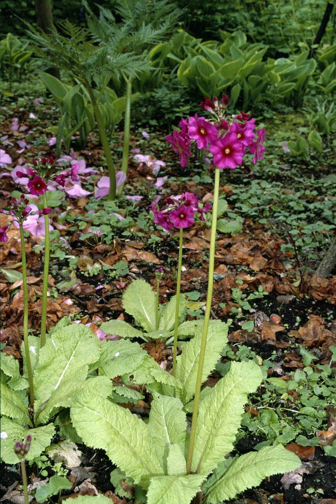 Japanese primrose