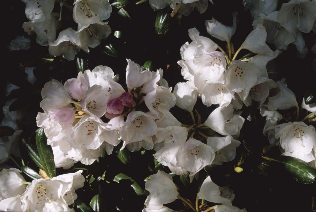 rhododendron 'Koichiro Wada'