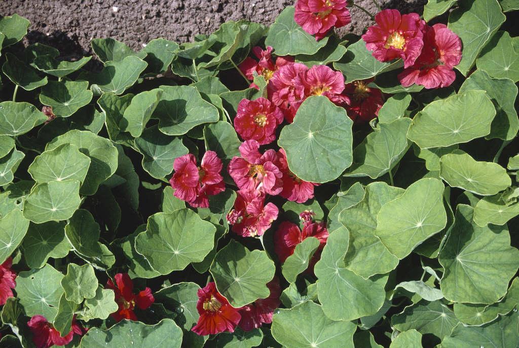 nasturtium Whirlybird Series