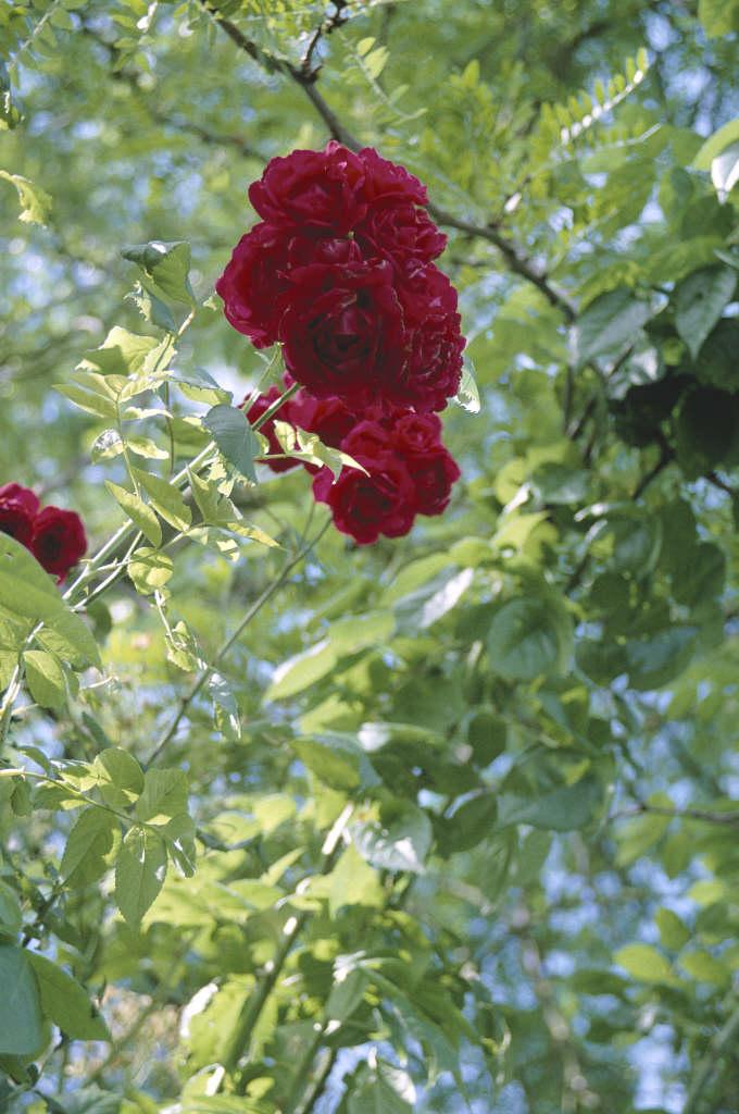 Rosa Paul S Scarlet Climber Cl Ra Rose Paul S