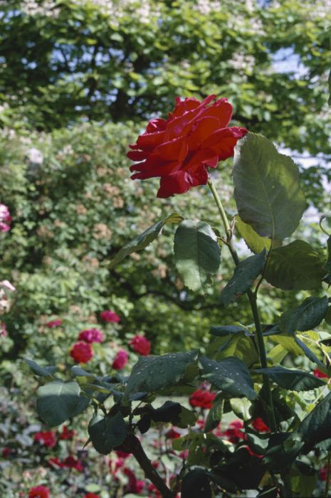 Rosa Ruby Wedding Ht Rose Ruby Wedding Rhs Gardening