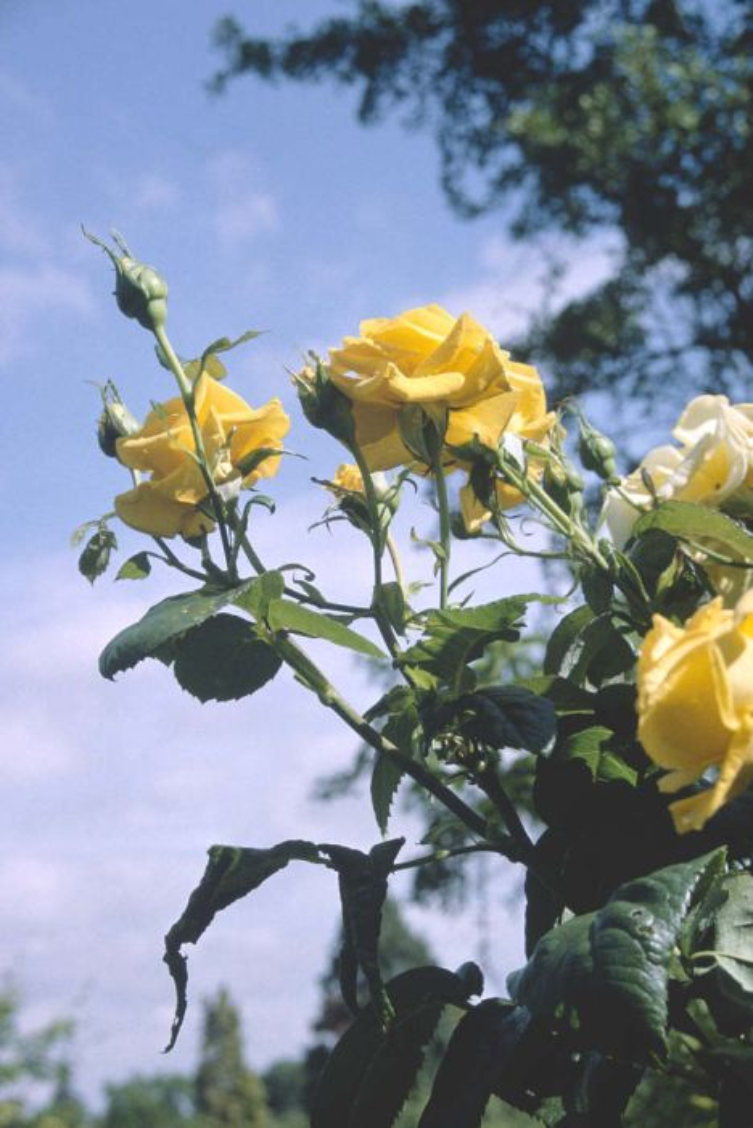 Rosa Golden Wedding Arokris F Rose Golden