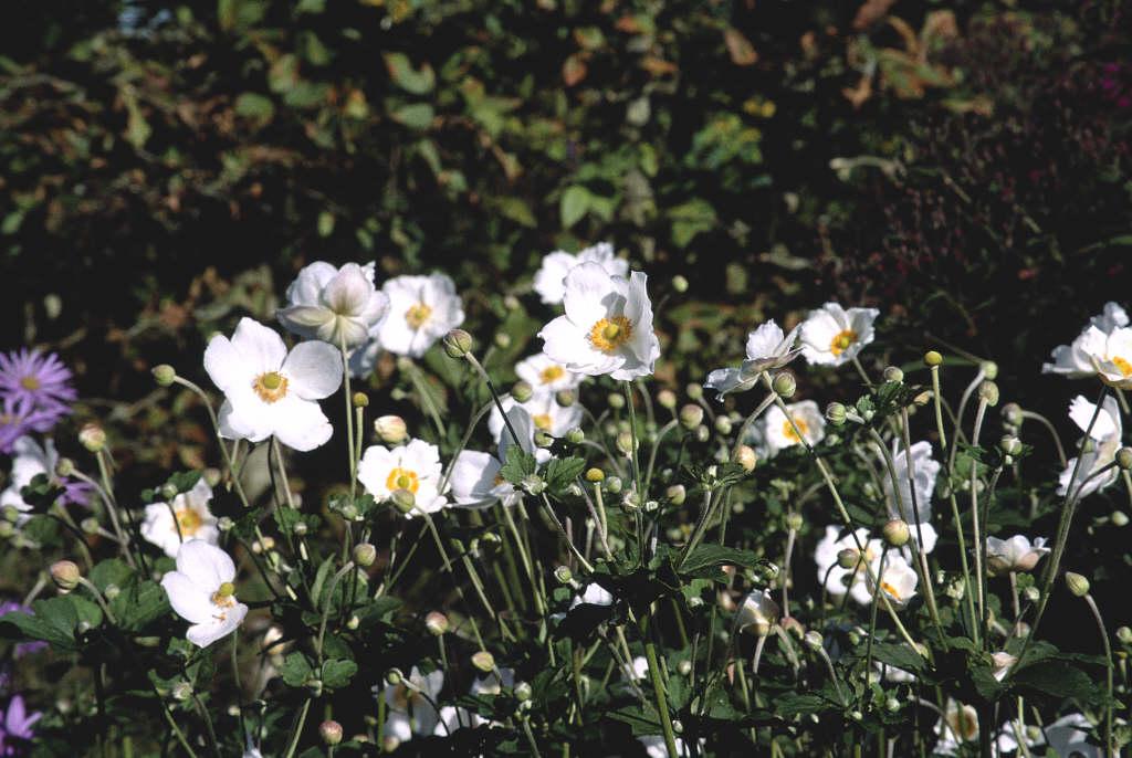 Japanese anemone 'Andrea Atkinson'