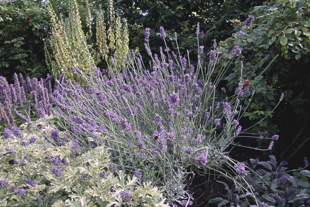 lavender 'Hidcote Giant'