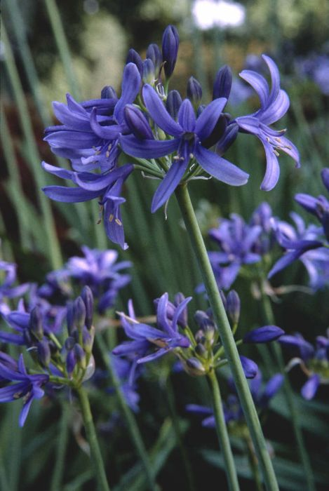 African lily 'Lilliput'
