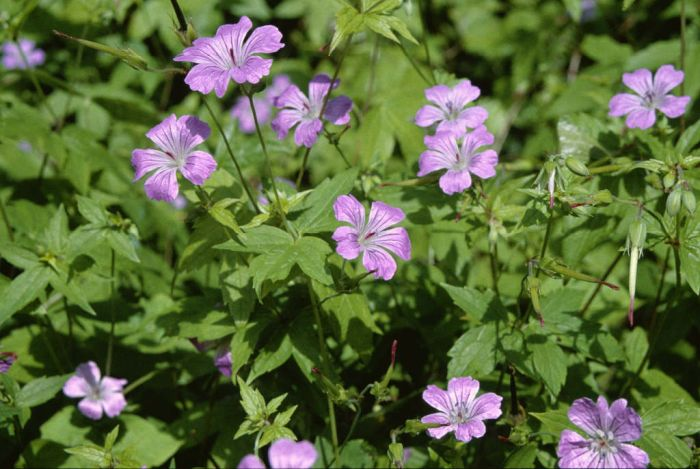 knotted cranesbill