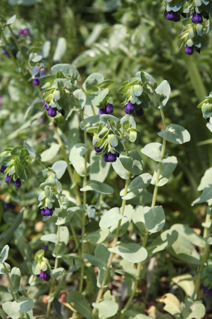 honeywort 'Purpurascens'