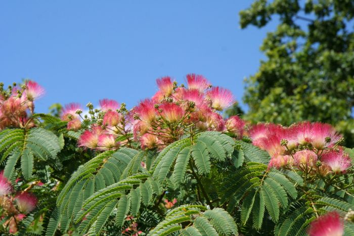albizia julibrissin f rosea pink silk tree rhs gardening. Black Bedroom Furniture Sets. Home Design Ideas