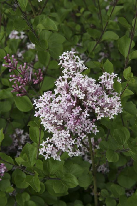 syringa meyeri 39 palibin 39 lilac 39 palibin 39 rhs gardening. Black Bedroom Furniture Sets. Home Design Ideas