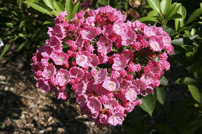 mountain laurel 'Pink Charm'