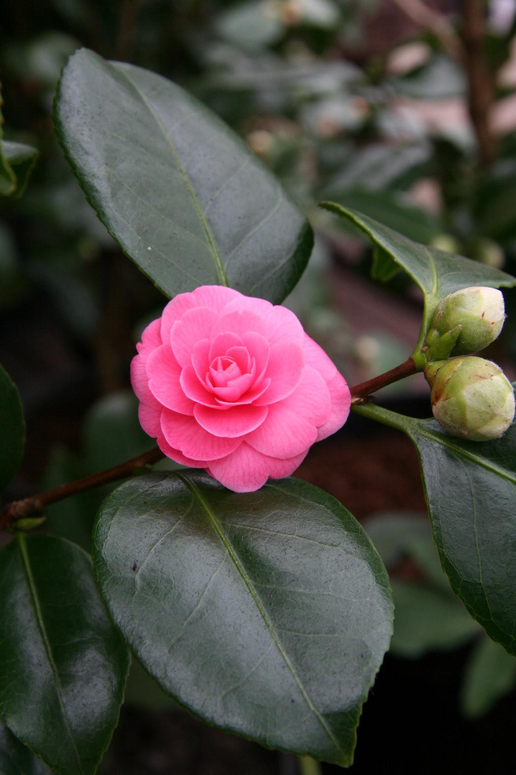 camellia 'Wilamina'