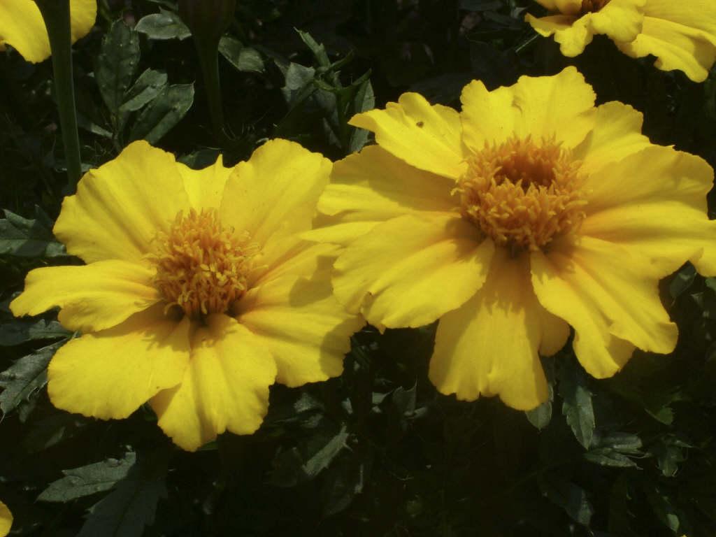 French marigold 'Disco Yellow'