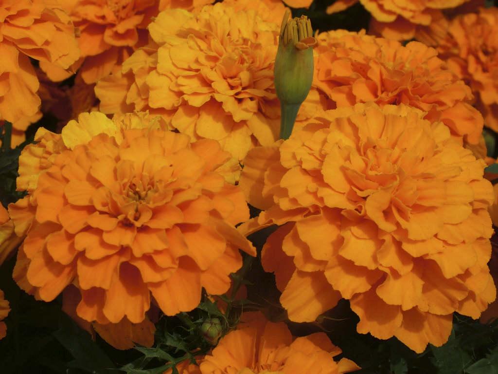 French marigold 'Safari Tangerine'