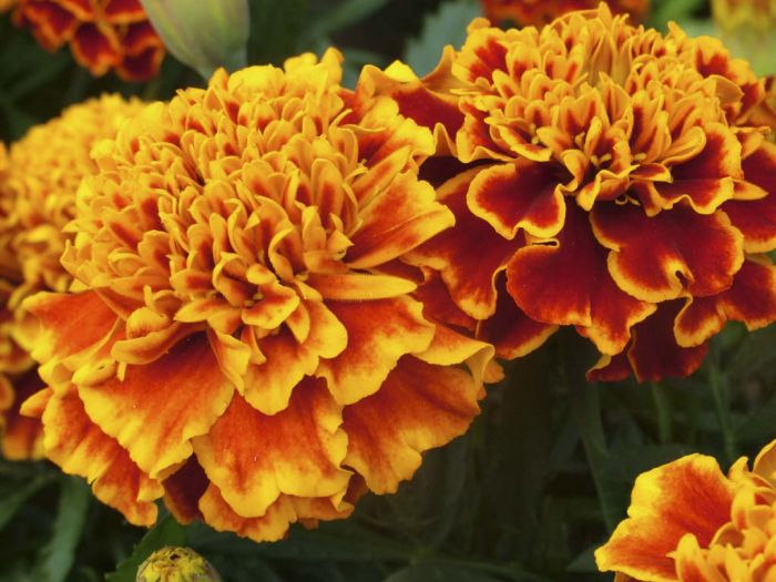 French marigold 'Honeycomb'