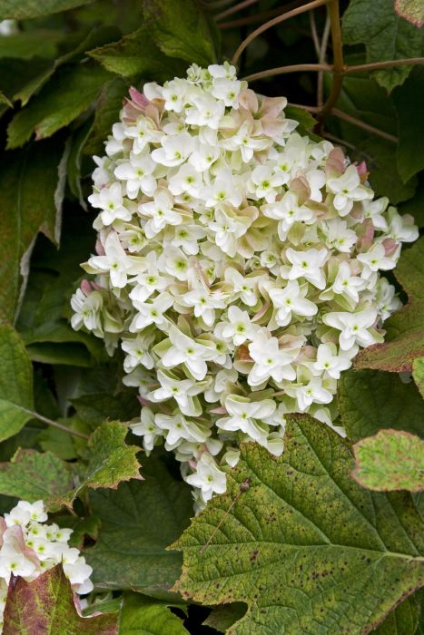 oak-leaved hydrangea [Snowflake]