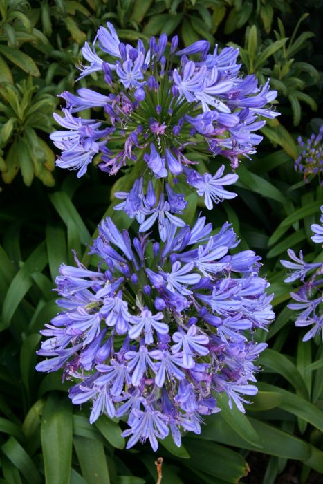 African lily [misapplied]