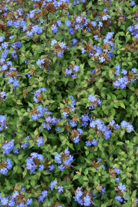 Chinese plumbago [Forest Blue]