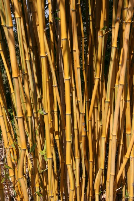 showy yellow groove bamboo
