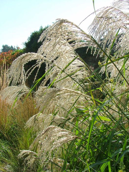 miscanthus sinensis 39 silberfeder 39 eulalia 39 silberfeder 39 rhs gardening. Black Bedroom Furniture Sets. Home Design Ideas