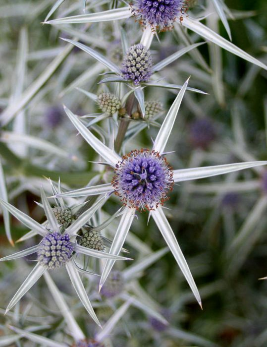 variable-leaved sea holly