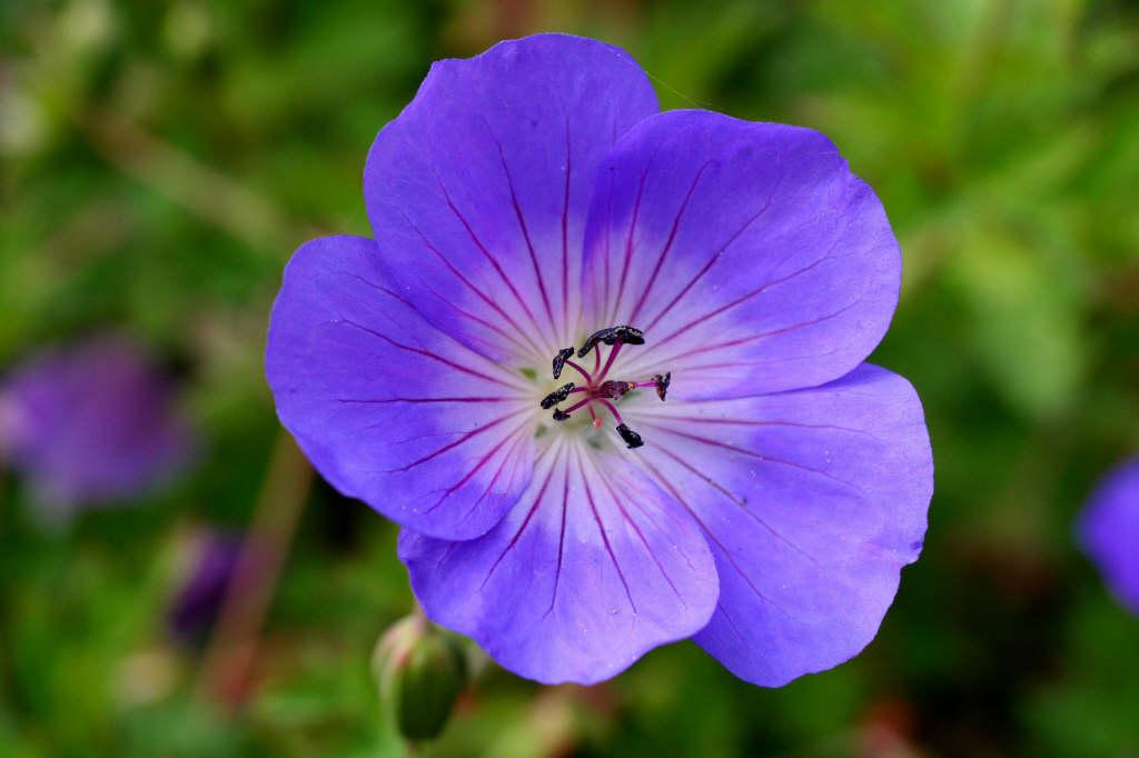 geranium [Rozanne]