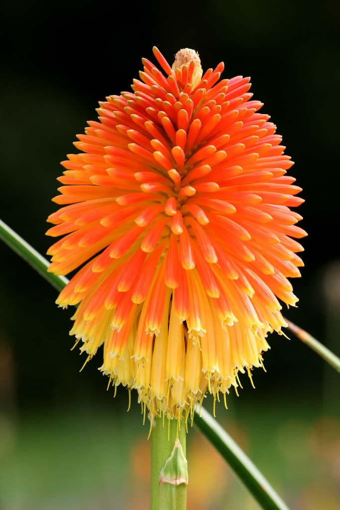 Kniphofia rooperi | Rooper's red-hot poker/RHS Gardening