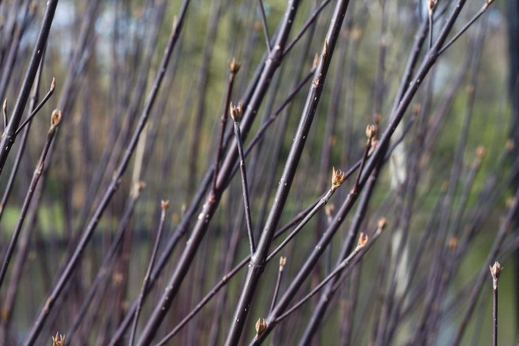 white dogwood 'Kesselringii'
